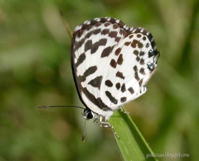 Common Pierrot at my home garden