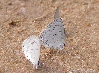 Common Hedge Blue at Sinharaja