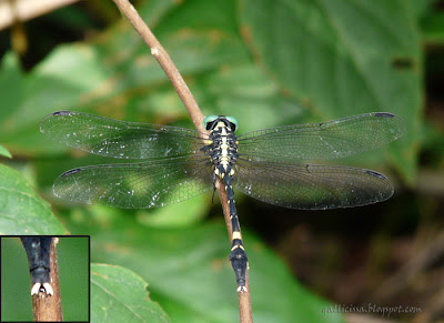 Sri Lanka Forktail. See the forktail in the insert, which earns it its name