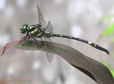 Sri Lanka Forktail -male, Bomiriya, Kaduwela