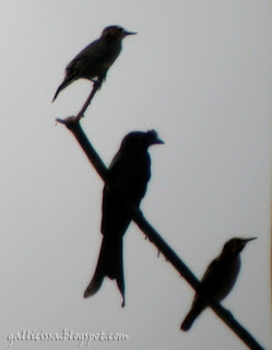 Greater Racket-tailed Drongo aka Sri Lanka Crested Drongo in Sinharaja with a pair of White-faced Starlings