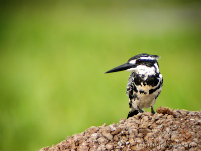 Pied Kingfisher at my local patch