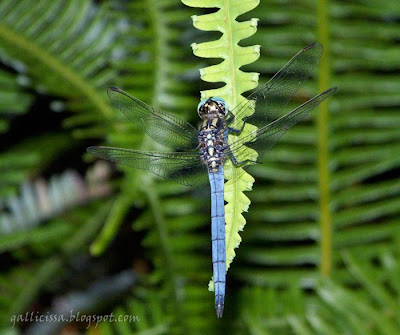 A Marsh Skimmer male at Sinharaja 'World Heritage' rain forest - 8 July, 2008