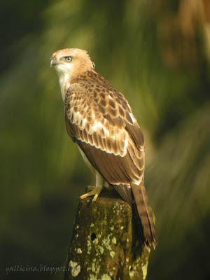 Crested Hawk Eagle juvenile