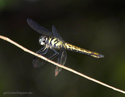 The female of the new Lyriothemis from Sinharaja 'World Heritage', Sri Lanka