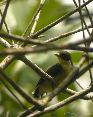 Legge's Flowerpecker juvenile