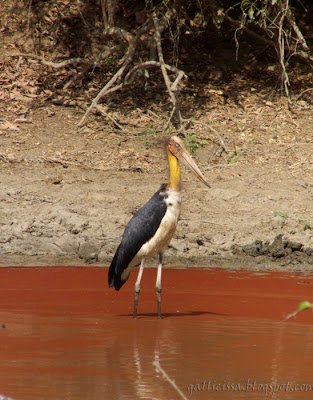 Lesser Adjutant at the Yala National Park