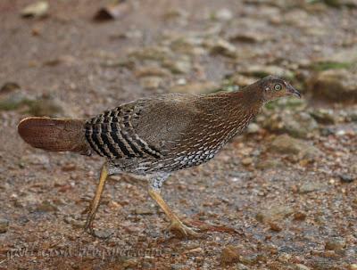 Sri Lanka Junglefowl