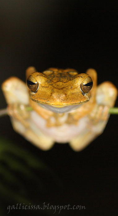Common Hourglass Frog