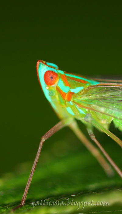 ?Centromeria viridistigma