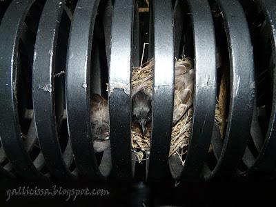 Red-vented Bulbul - unusal nest