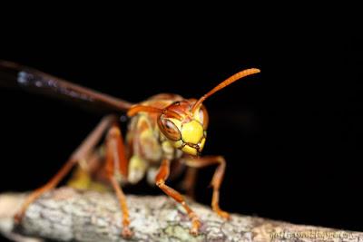 builder wasp?