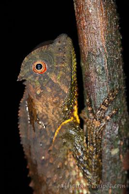 Hump-nosed Lizard immature