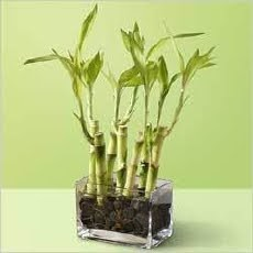 Bamboe plant ikea