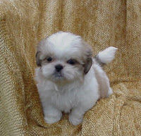 Shorkie Puppies: What is a Shih-poo??
