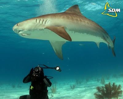 Tiger shark vs hammerhead shark - photo#10