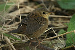 Pallas&#39;s Grasshopper Warbler (click photo)