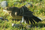 Buff-bellied Pipit (click photo)