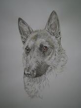 Hondenportret Laekense herder