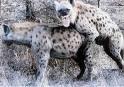 Les hyènes seront toujours là...