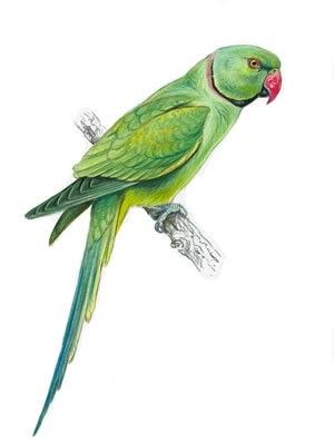Ring Necked Parakeet Expansion