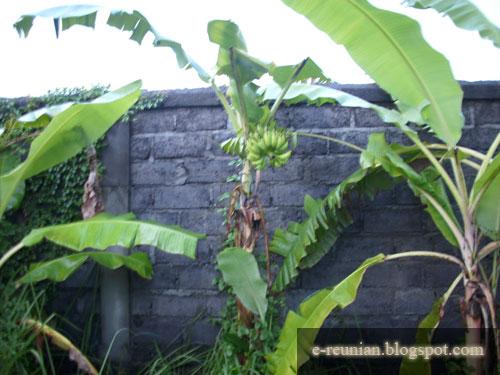 [banana-treet-in-kucupin-736473.jpg]