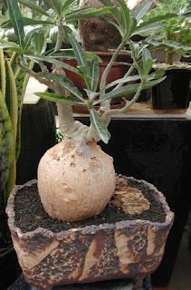 Adenium somalense, Adenium oleifolium , bunga Yang Cantik, Beautiful Flower, Indonesian Flower, Jepun Jepang
