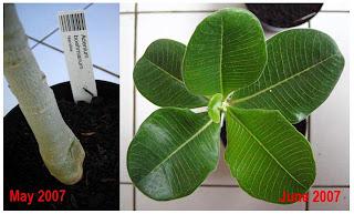 Adenium Hybrid, Adenium boehmianum, Adenium swazicum, Adenium somalense var. crispum, Adenium somalense, Adenium oleifolium , bunga Yang Cantik, Beautiful Flower, Indonesian Flower, Jepun Jepang, Beautiful Plant