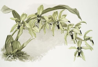 Coelogyne Pandurata, Coelogyne speciosa, Orchid Coelogyne celebensis, Sang Diva, Si Kupu-Kupu Rawa, Vanda limbata, Vanda metusalae, Vanda insignis, Vanda celebica, Anggrek cantik, langka, Tanaman Indah