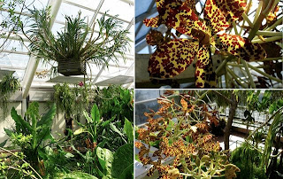 Grammatophyllum speciosum Orchid, Anggrek kategori, Cantik, Bunga Unik, Si Belang, Bertotol