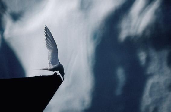 charran artico en la Antartida
