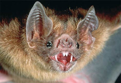 http://1.bp.blogspot.com/_flOuVwvNTVc/TO9ckq849HI/AAAAAAAAABI/HshJPOKfn1A/s1600/vampire-bat1.jpg