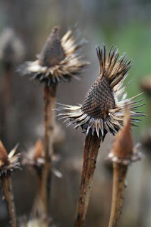 Coneflower seedheads in winter