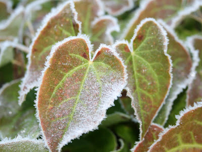 Epimedium edged in frost