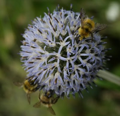 Bumblebees on globe thistle flower