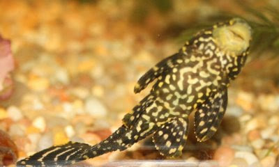 Underside of plecostomus