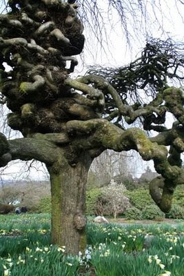 Very contorted willow tree