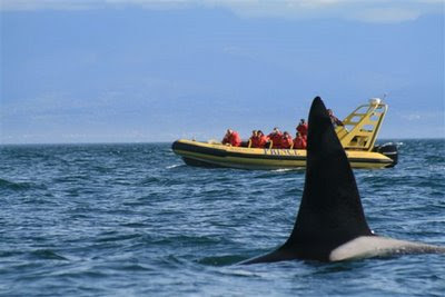 Whale Watching Boat and Orca