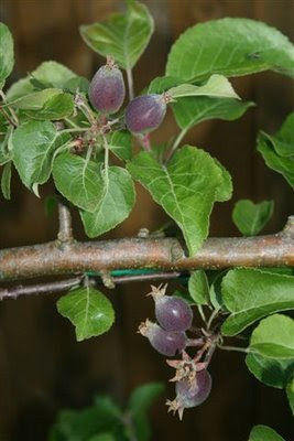 Espalier apple tree with fruit