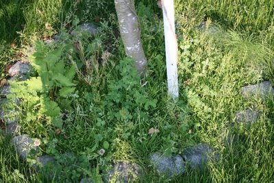 Base of apple tree in weeds