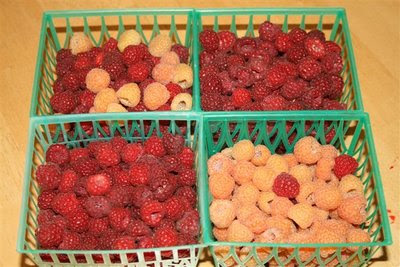 Red and gold raspberry harvest from the garden