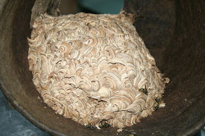 Wasp nest inside an empty flower pot