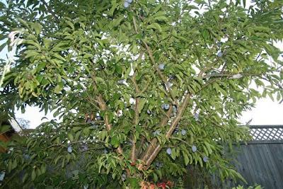 Italian plum tree