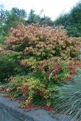 Euonymus alata (burning bush)