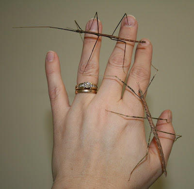 Pair of stick bugs
