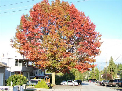 Large oak in fall colours