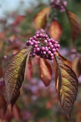 Callicarpa bodinieri berries