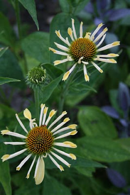 Cone Crazy coneflower