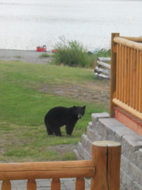 Black bear in our yard
