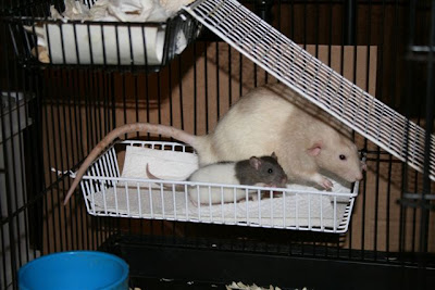Boy rats Bear and Archie